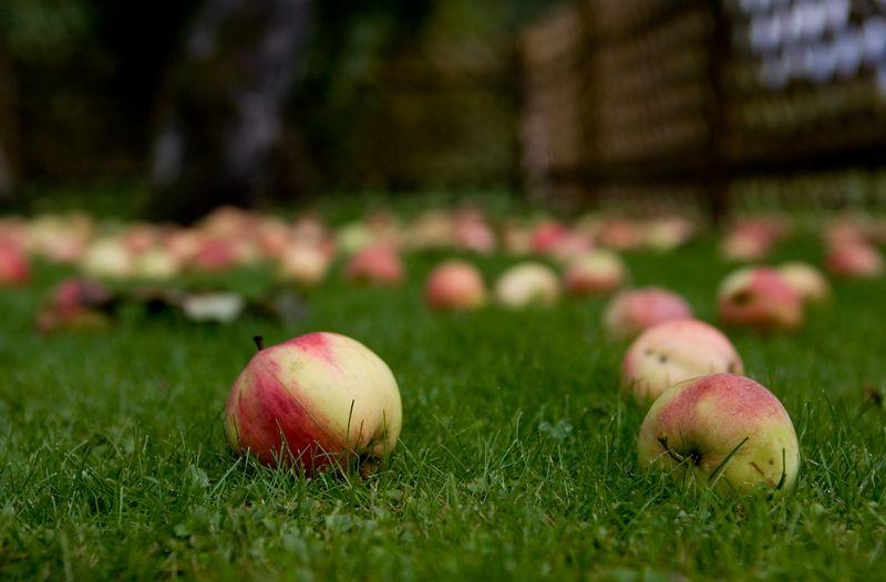 Pagrindinės verslinių sodų pajamos – desertinių obuolių realizacija, tačiau sodininkai kuria ir papildomus verslus: spaudžia sultis, gamina įvairias tyres. Juditos Grigelytės (VŽ) nuotr.