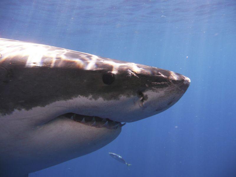 """Didysis baltasis ryklys turbūt labiausiai legendomis apipinta ryklių rūšis, jis atlieka pagrindinį vaidmenį filme """"Nasrai"""". Kevin Weng (Reuters/Scanpix) nuotr.."""