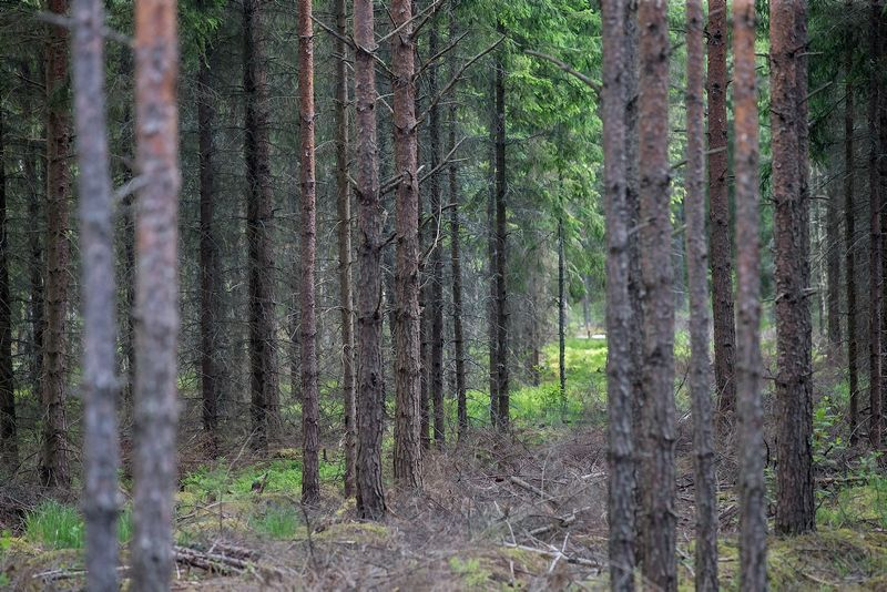 Kazlų Rūdos miškai.  Juditos Grigelytės (VŽ) nuotr.