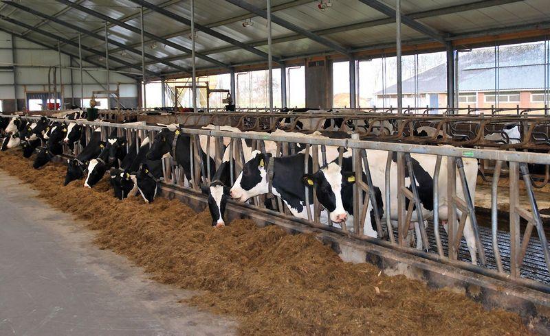 Robotai karves melžia 3 kartus per parą, šeria 16 kartų – žmonės taip prižiūrėti raguočių paprasčiausiai negali. Arūno Milašiaus nuotr.