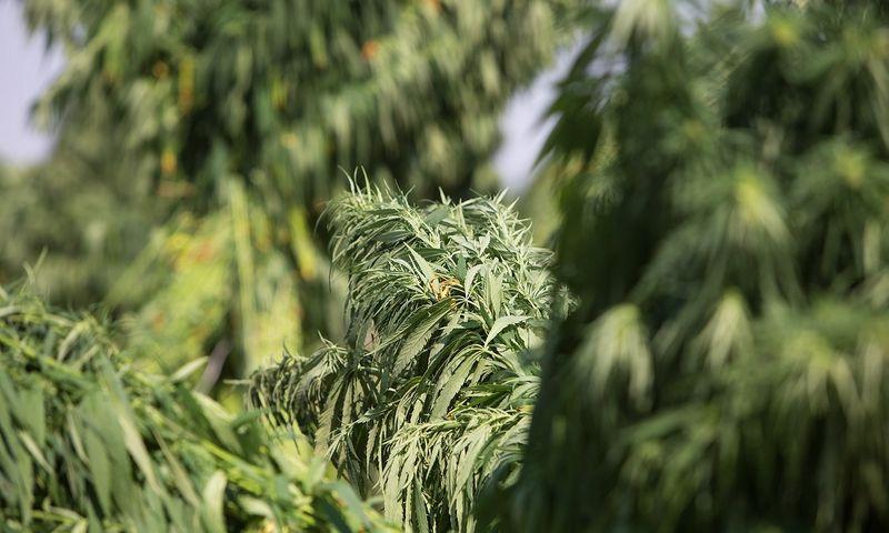 Babtų sodininkystės institute kanapės paimtos dėl netinkamai tvarkomų dokumentų, bet ne dėl narkotinių medžiagų gamybos.  Juditos Grigelytės (VŽ) nuotr.