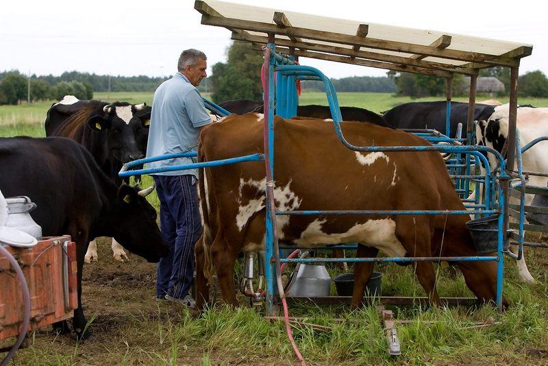 Pieno ūkiai, kritus pieno supirkimo kainoms, paramą gauna jau ne pirmą kartą.  Juditos Grigelytės (VŽ) nuotr.