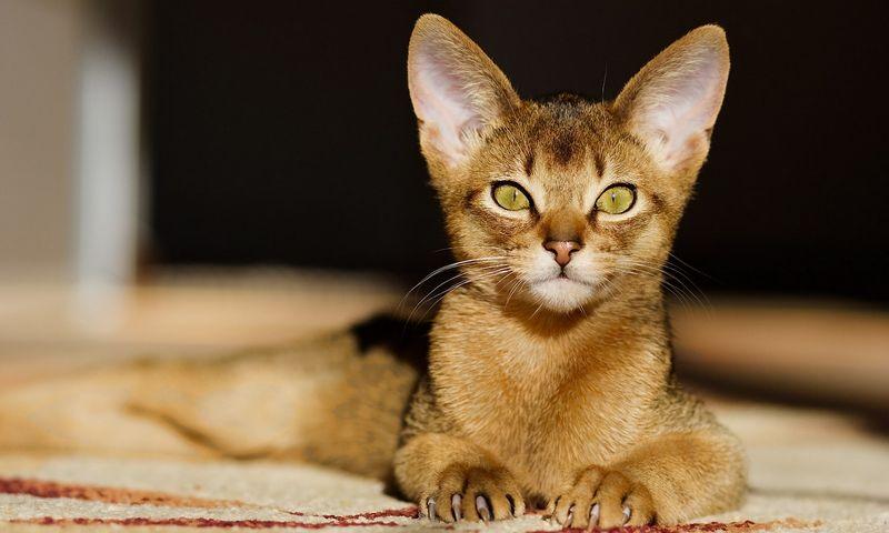 """Ne visų veislių kačių reputacija vienoda. """"Matton"""" nuotr."""