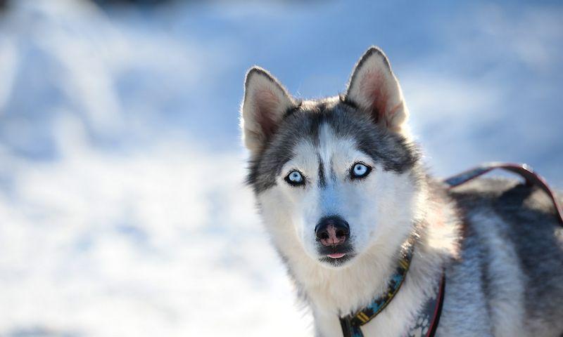 """Šiaurės šalių nacionaline transporto rūšimi drąsiai galima laikyti šunų kinkynes.  Pavelo Lisitsyno (""""RIA Novosti""""/""""Scanpix"""") nuotr."""