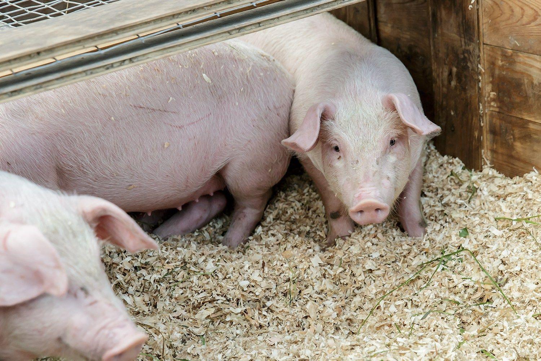 Ispanija gerina kiaulienos eksporto rekordus