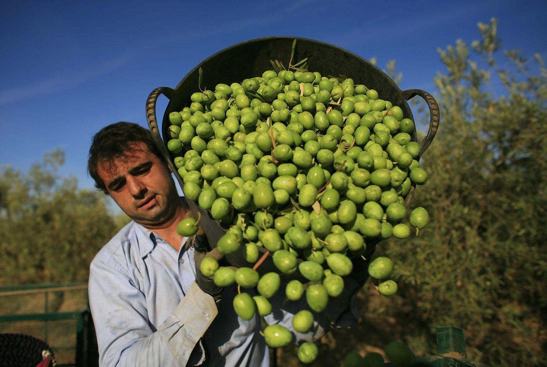Penkerius metus kilusi alyvuogi� aliejaus kaina nusirito �emyn