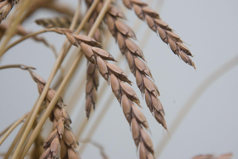 �Linas Agro Group� pusme�io pelnas augo trigubai