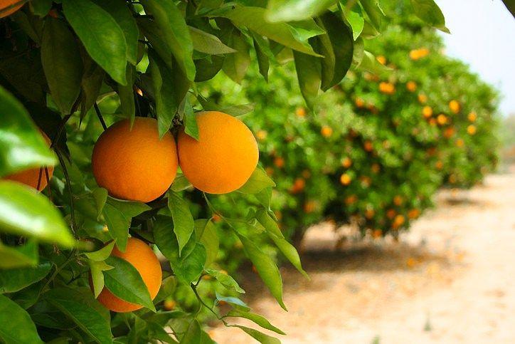 Izraelio žemės ūkio reforma: atsiveria galimybės importuotojams
