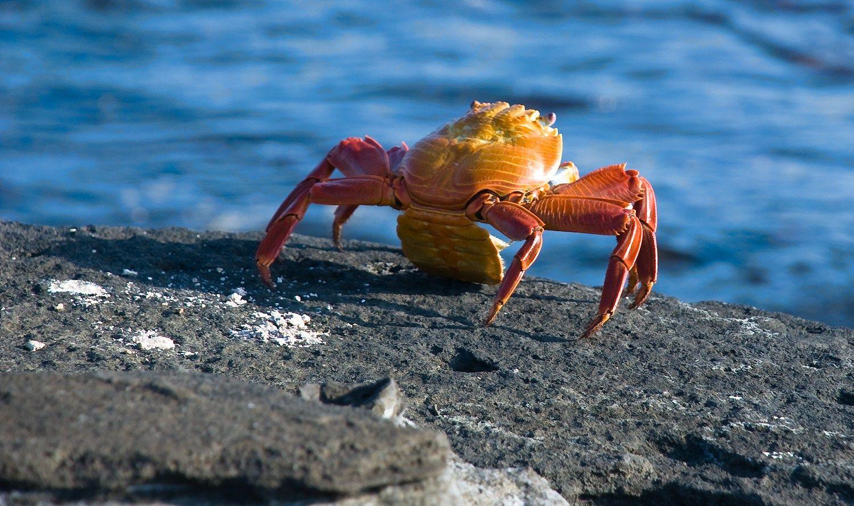 Spalvos padeda krabams susirasti porą