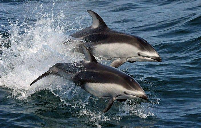 Veterinarai nufilmavo, kaip gimsta delfinas
