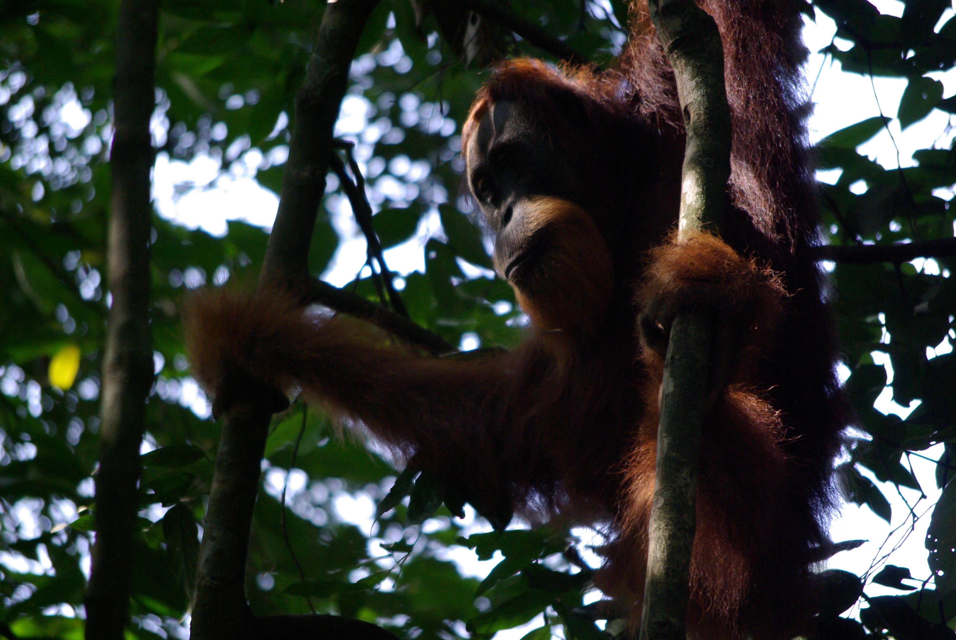 Kavos puodelis u� orangutan� i�saugojim�
