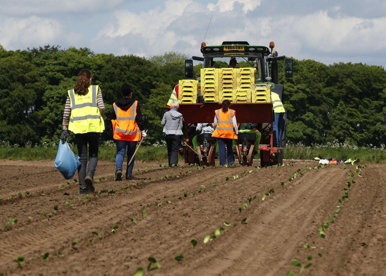 """Britų ūkininkas: kas sodins morkas, jei """"Brexit"""" atims imigrantus"""