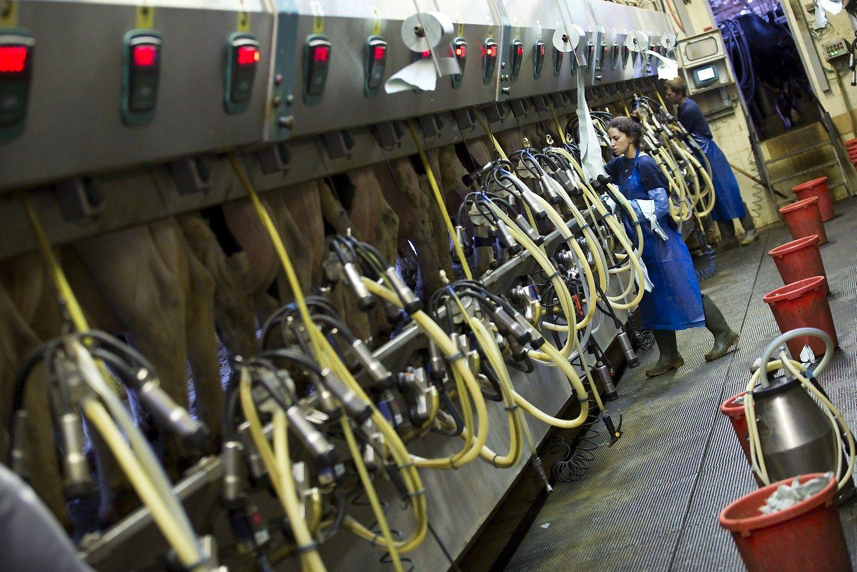 Pieno kaina Lietuvoje ir toliau ritasi žemyn
