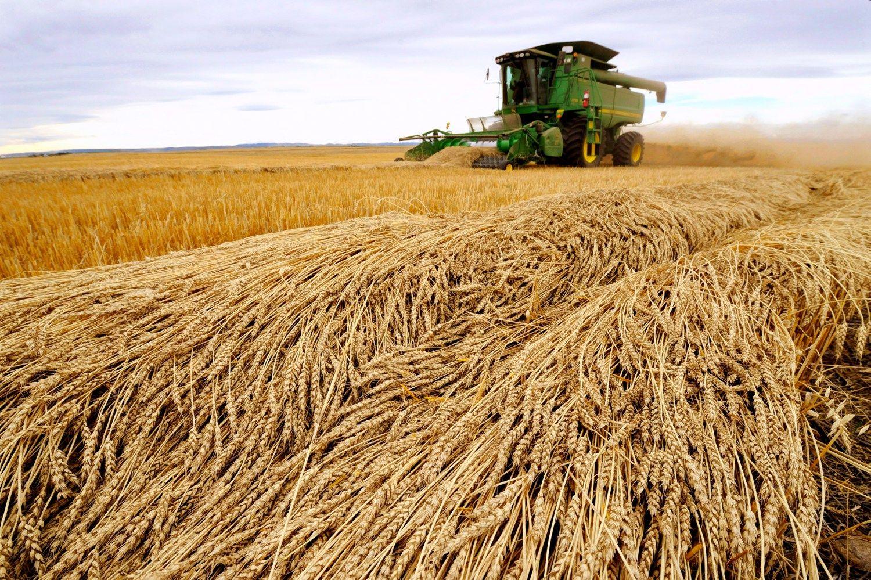 Prognozuoja visų laikų kviečių derliaus rekordą