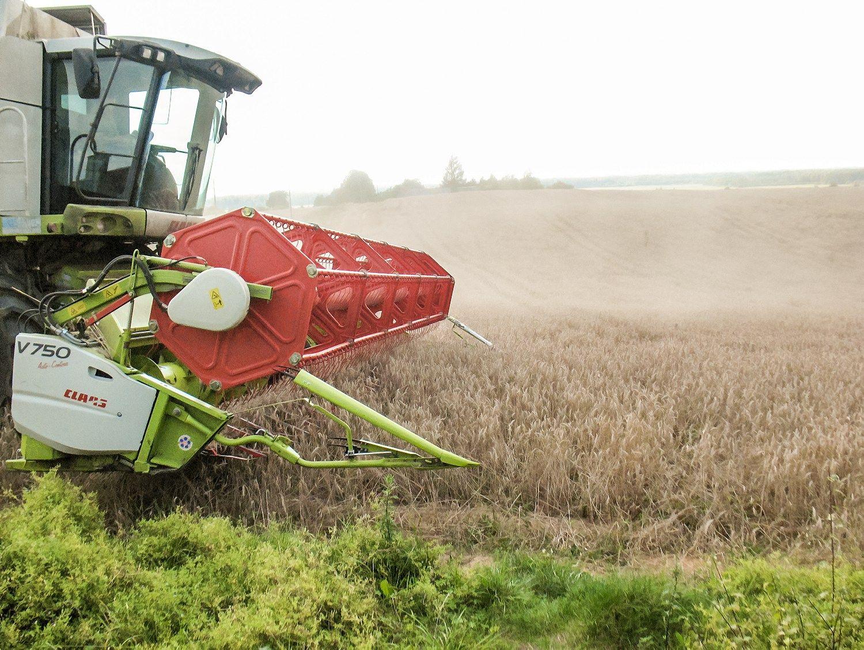 Koreguojama Lietuvos grūdų derliaus prognozė