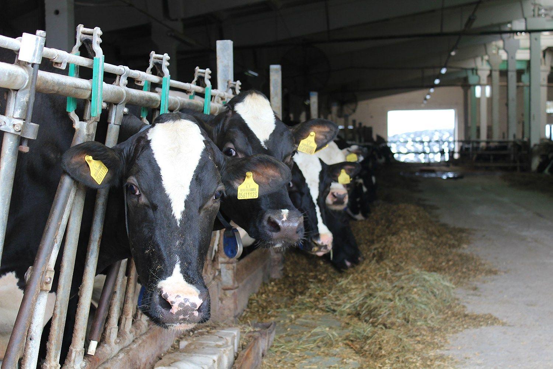 Pieno kaina jau bando atsiplėšti nuo dugno
