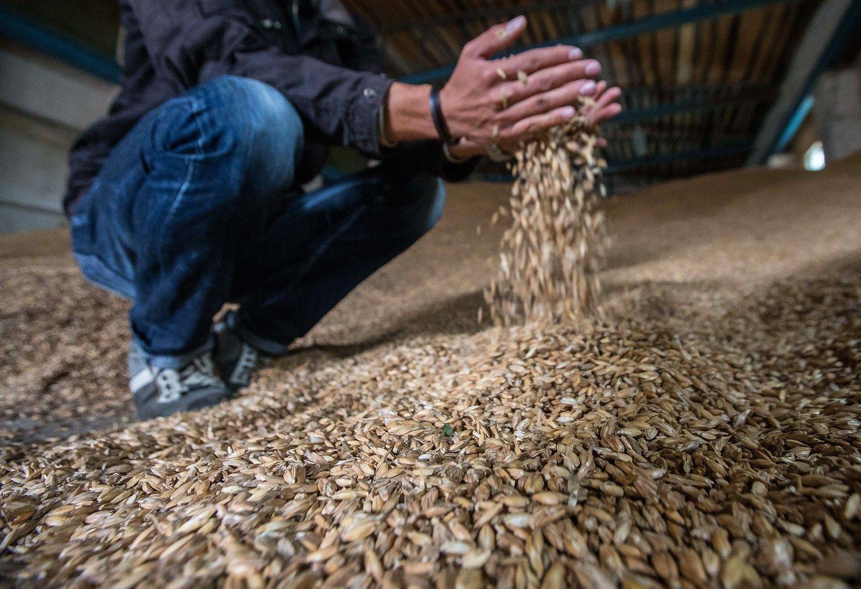 Prognozė: lietus smarkiai aptirpdys šalies grūdų derlių