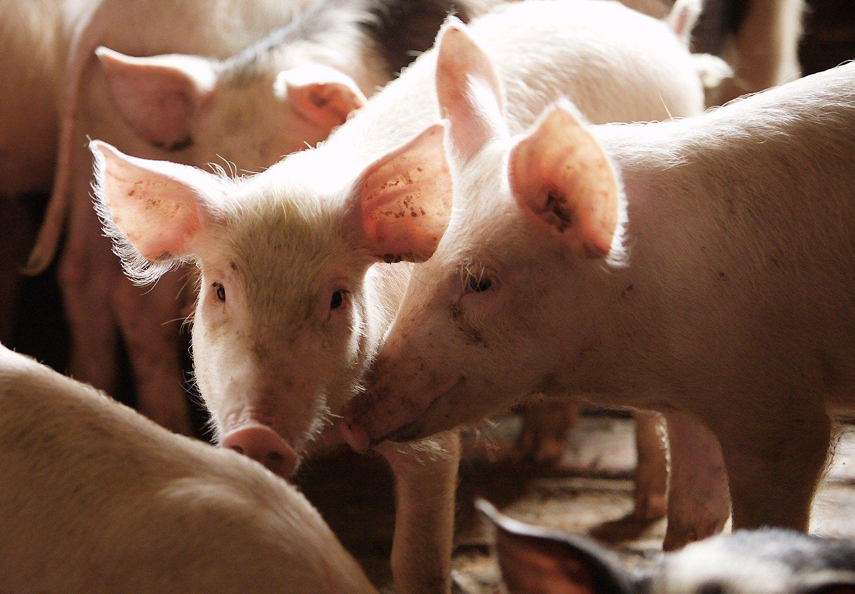Šalys vienijasi kovai su kiaulių maru