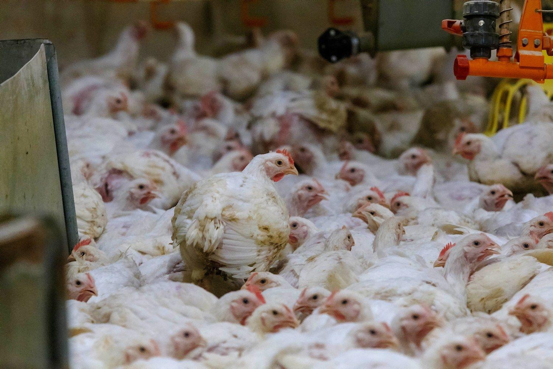 Europoje plinta paukščių gripas