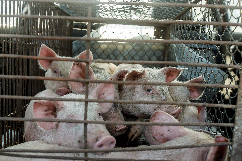 Kiaulių marasplinta į vis naujas savivaldybes