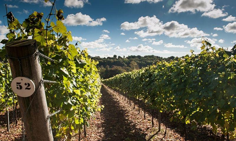 """Hambledono ūkio vynuogynas Hampšyre, pietinės Anglijos grafystėje.   """"decanter.com"""" nuotr."""