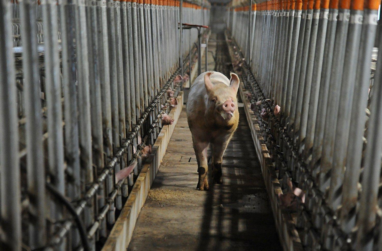 Maras Latvijoje pakirto stambų kiaulių kompleksą