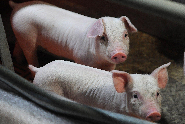 Kritinė situacija Latvijoje: dėl maro skerdžia tūkstančius kiaulių