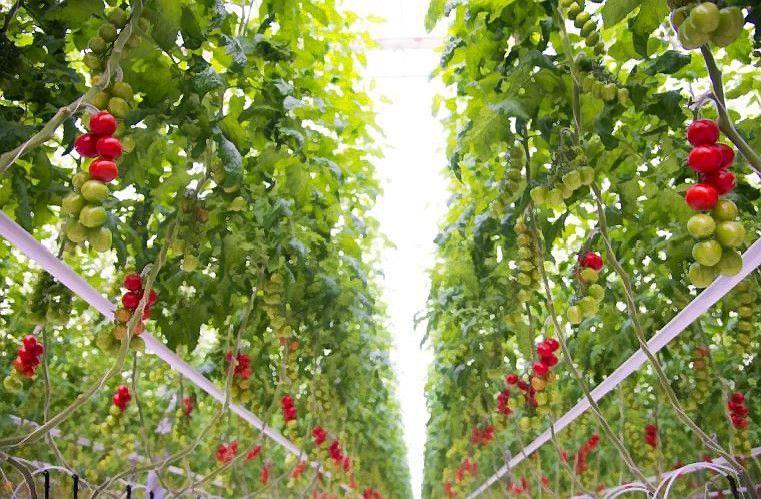 """""""Kietaviškių gausa"""" tapo modernesnė: daržovių turės visus metus"""