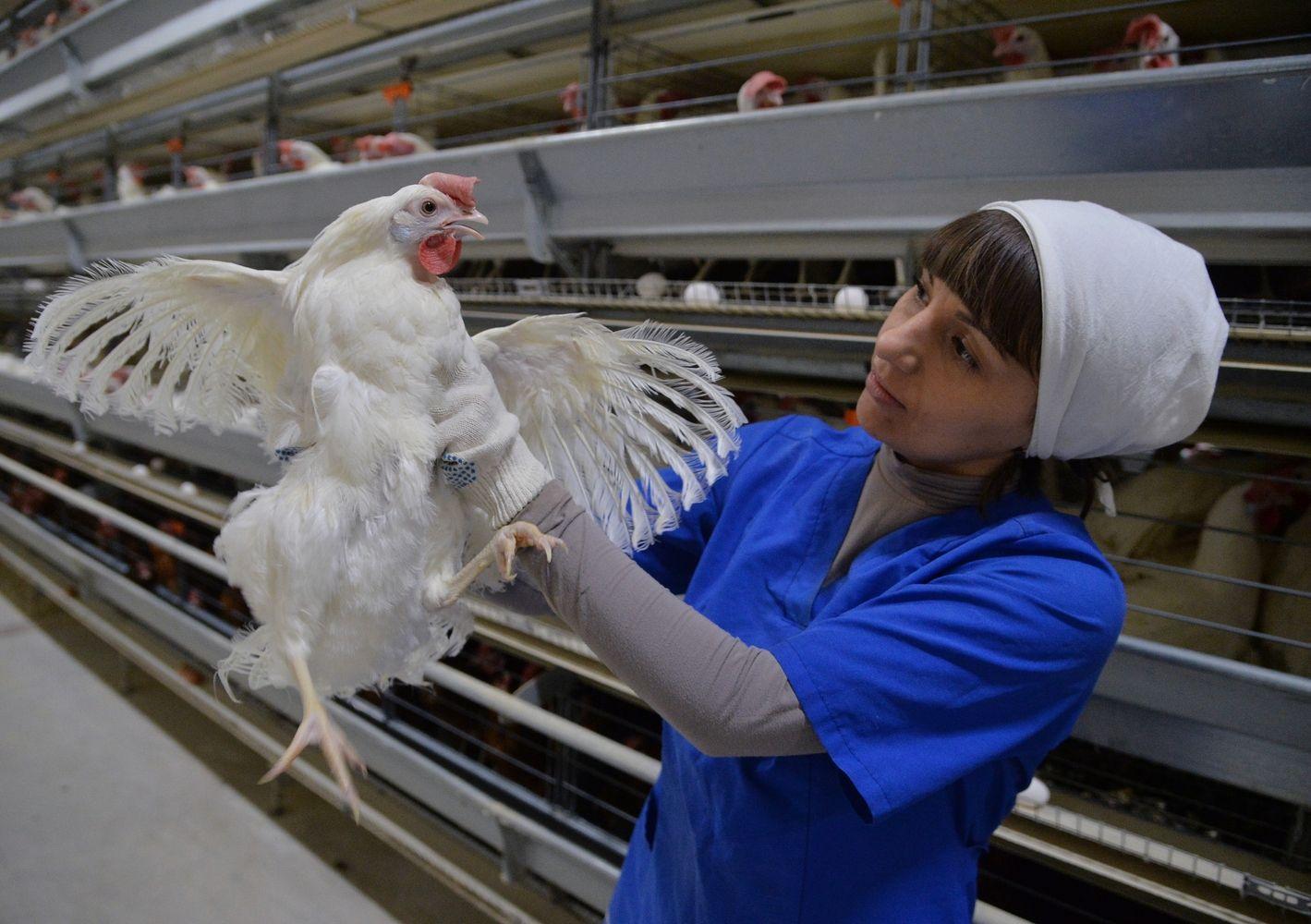 JAV milžinė investuoja į didžiausią Rusijos viščiukų verslą