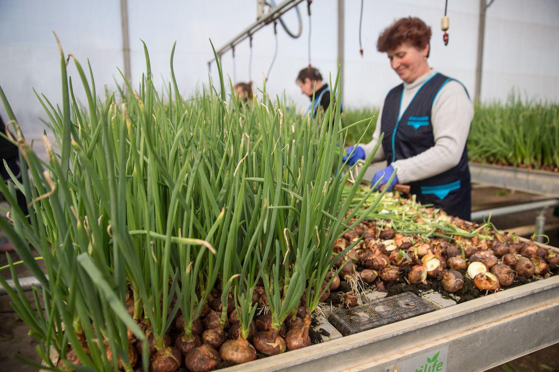 Atlyginimai žemės ūkio bendrovėse: darbuotojus pervilioja ūkininkai