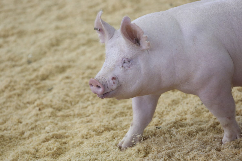Plečiama afrikinio kiaulių maro buferinė zona