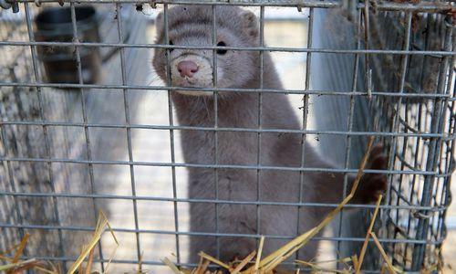 Čekijauždraudė kailinių žvėrelių fermas