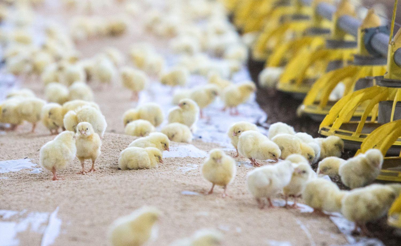 Vilniaus paukštynas aiškinasi, kodėl nugaišo 25.000 viščiukų