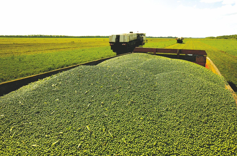Pupų ir žirnių augintojams – nerimą keliantis draudimas
