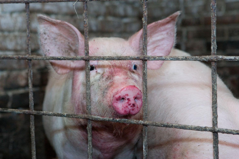 Kiaulininkystės komplekse Jonavos rajone – įtariamas AKM protrūkis