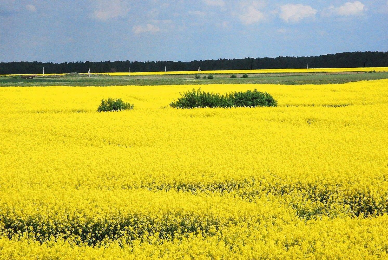 Prognozuojamas kuklesnis Lietuvos javų derlius