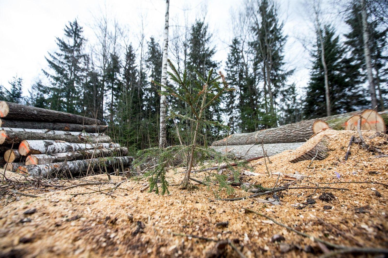 Lietuvoje aktyviau medieną perka kaimynai – kyla kainos