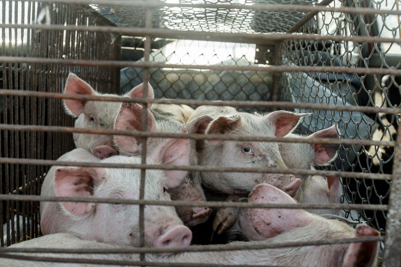 """""""Beržų komplekso"""" fermoje dėl maro paskersta 24.000 kiaulių"""