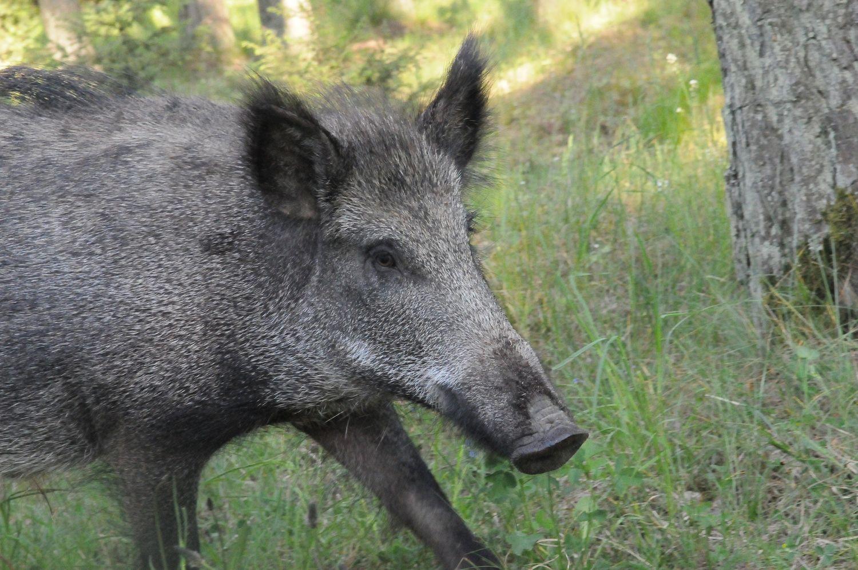 Dėl kiaulių maro keičiasi išmokų medžiotojams tvarka