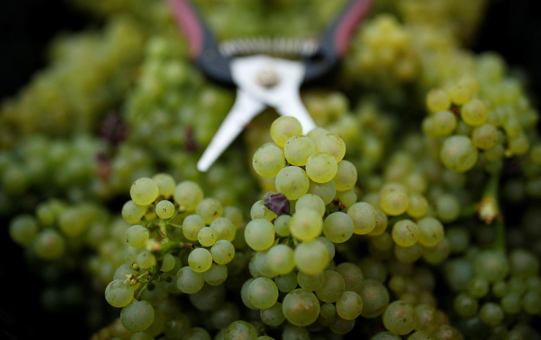 Prancūzija pagamins mažiausiai vyno per 60 metų