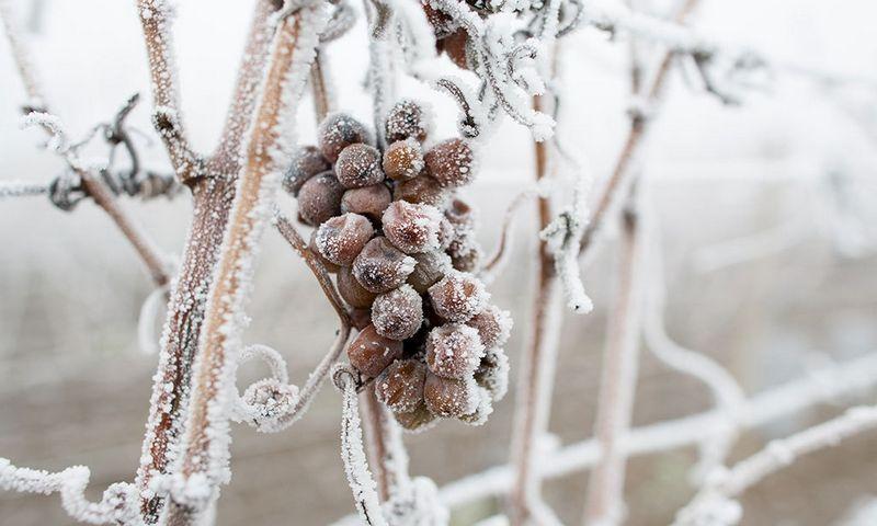 Iš sušalusių vynuogių gaminamas ledo vynas. www.kazzit.com nuotr.