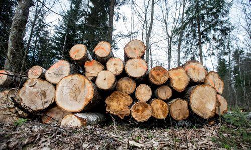Naujoji miškų urėdija sausį iš prekybos mediena gavo 13,5 mln. Eur pajamų
