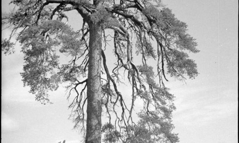 """Gerbti ir pavieniai medžiai: garsioji Šunbapipkė – Šiluvos apylinkėse augusi pušis, ant kurios tariamai buvo kariami 1863–1864 m. sukilimo dalyviai. Kazimiero Skerstono nuotrauka, Šiaulių """"Aušros"""" muziejus"""