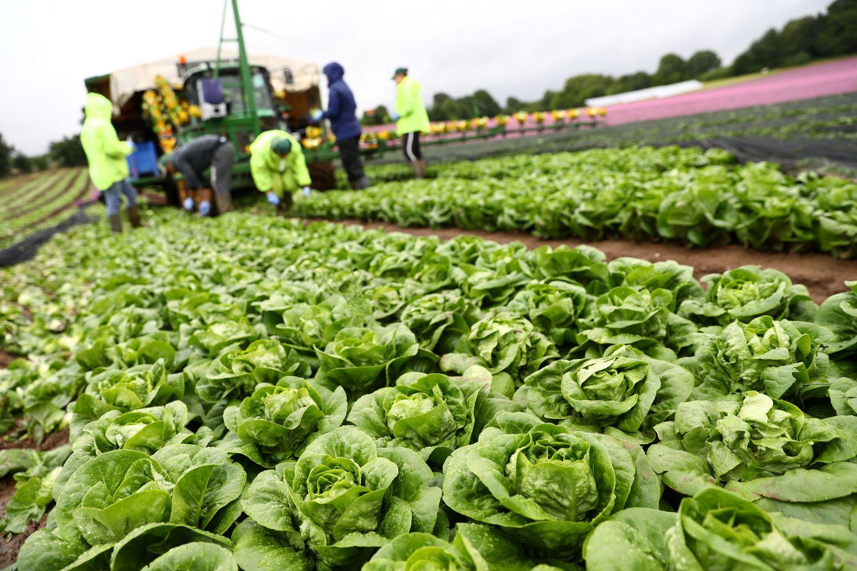 Mažėjant imigracijai iš Rytų Europos, JK ūkiuose trūksta darbuotojų