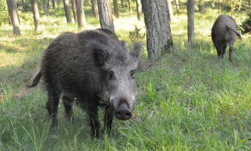 Kiaulių maras pasiekė Joniškio rajoną