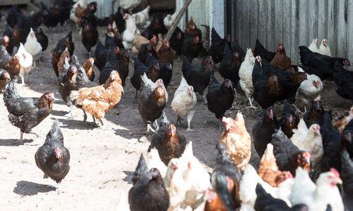 """""""Situacija kelia nerimą"""": paukščių gripas pasiekė Vokietiją"""