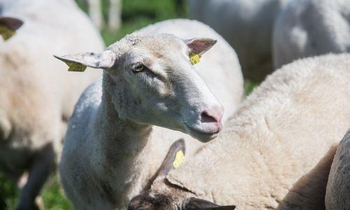 Pradedamos gyvulininkystės ūkių patikros