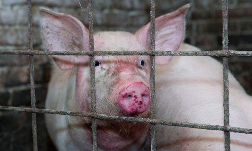 Beveik pusė patikrintų stambių kiaulių ūkių neatitinka saugos reikalavimų