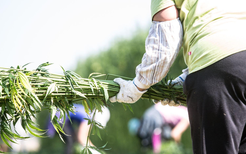 """""""Agrosfera""""pluoštinėmis kanapėmisapsės1.500 ha"""