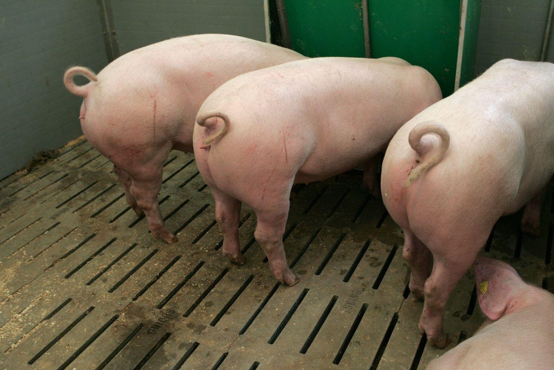 Kiaulių ūkiuose skaičiuojami pažeidimai, bet VMVT ramina: viskas gerai